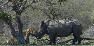 Suspected Rhino Poacher Killed By An Elephant Then Eaten By Lions In South Africa