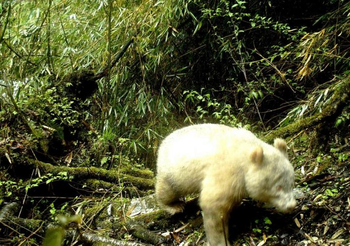 Rare Albino Panda Was Photographed In Chinese Nature Reserve