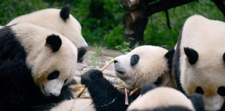 China Created A Facial Recognition App Meant To Recognize Pandas
